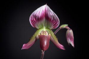 Venus' Slipper Orchid